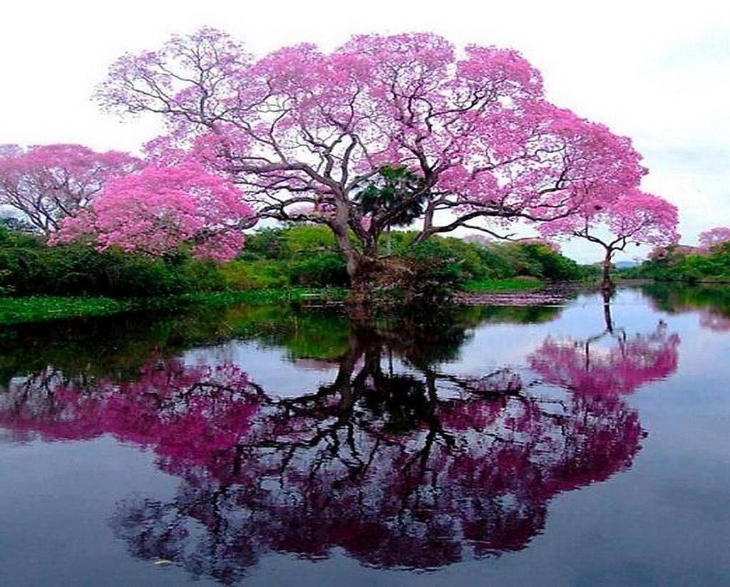 Flowering tree reflected in lake